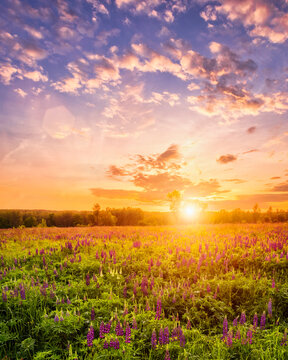 Sunset or sunrise on a field covered with flowering lupines in spring season with fog and cloudy sky.