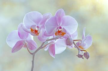 Fototapeta Storczyk. Pink  flowers obraz