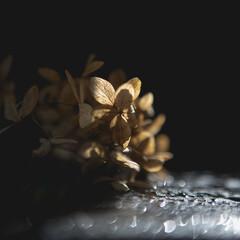 Obraz sucha hortensja muśnięta promieniem słońca  - fototapety do salonu
