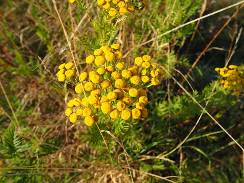 Beautiful yellow tansy (Tanacetum vulgare) flowers