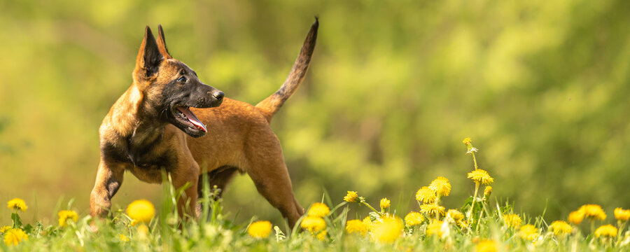 Malinois puppy dog on a green meadow with dandelions in the season spring. Doggy is 12 weeks old.