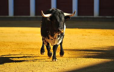 spanish bull in the traditional festival of bullfight