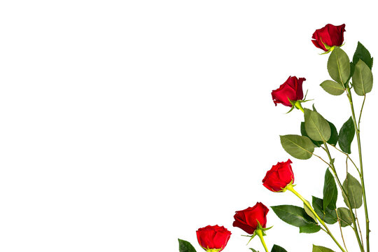 Bright colorful flower rose. floral background