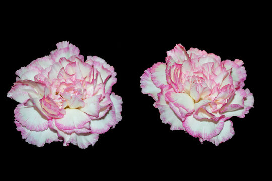 Colorful carnation flowers isolated on black background.