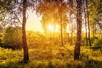 A scene of sunrise in a birch forest on a sunny summer morning with fog.