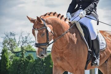 Obraz Koń rasy Deutsches Sportpferd. - fototapety do salonu