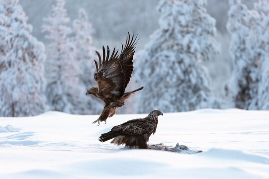Golden eagle (Aquila chrysaetos) feeding, Kuusamo, Finland