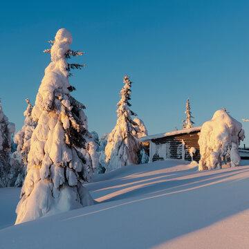Snow laden trees and cabin, Kuusamo, Finland