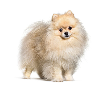 Small spitz dog standing, isolated