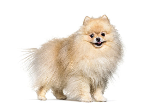 Small spitz dog cream standing, isolated