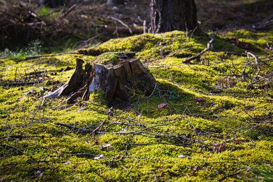 Baumstumpf im Moos