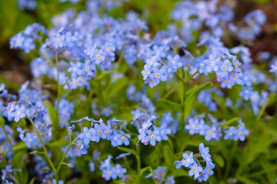 Little blue forget-me-not flowers in spring home garden.