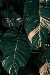 Obraz Naturalne tropikalne ciemne tło roślinne, tekstura deseń zielonych liści monstera. - fototapety do salonu
