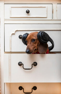 The dachshund dog listens to music with pleasure in big black headphones sitting on a shelf in the closet for linen and looks attentively at the camera. Red-haired dog, vertical photo.