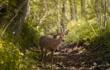 European roe deer in the forest