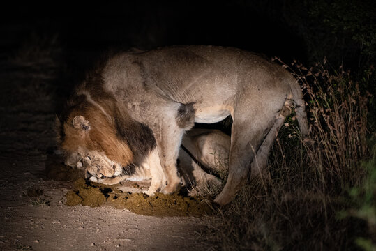 Lions seen rolling in fresh Elephant dung on a night safari in South Africa