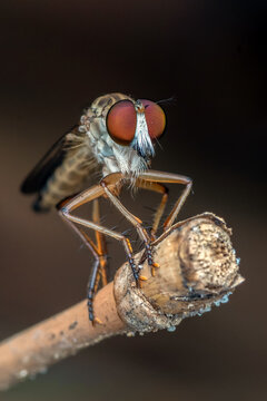 Robberfly with prey in close up photo