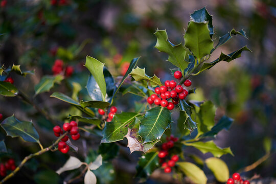 Holly berries in spring in the mountains of Northern Italy