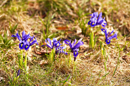 Snowdrops or Dream grass appears after snow melt. Spring first crocus flowers blooms
