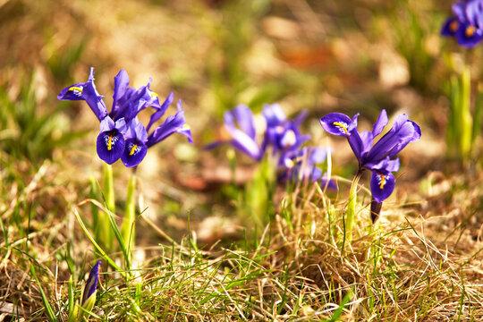 Spring first crocus flowers blooms in garden. Purple pulsatilla flowers close up blossom.