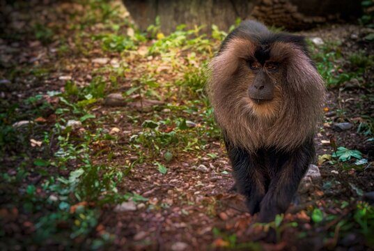 Liontail macaque in the forest