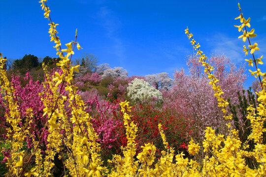 花見山・桜(福島県・福島市)