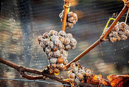Edelfaule Trauben (Botrytis) am Stock hängend, Burgenland, Österreich