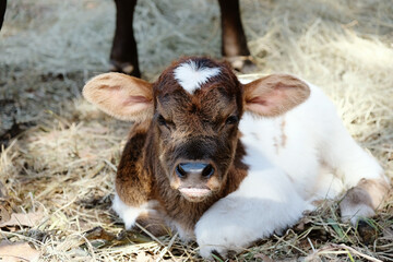 Wall Mural - Funny look on face of baby cow shows grumpy calf laying down in hay.