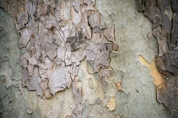 Closeup of plane tree trunk texture in a public garden