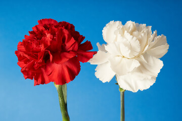 Fototapeta Beautiful red and white Dianthus flowers on blue background     obraz