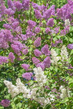 Blooming bushes of white and purple lilacs