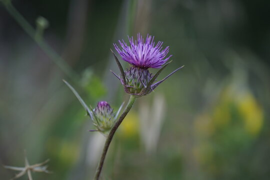 Syrian Thistle - Notobasis syriaca thorn that blooms in nature