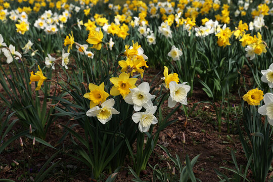 Narcissus. Beautiful spring flowers blooming in the garden