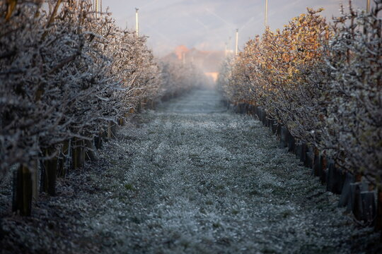 Fruit growers protect their orchards from frost damage in Wachau region