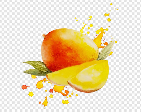Watercolor Mango Isolated Transparent Background, Vector Illustration
