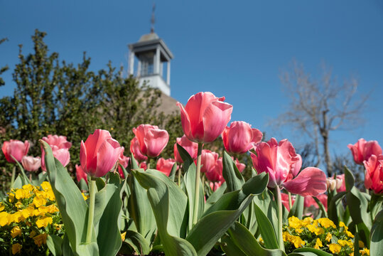Beautiful pink tulips mark the start of Spring in Colonial Williamsburg, VA.