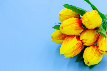 Tulips yellow and orange color with green leaves isolated on blue background