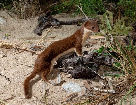 Least weasel // Mauswiesel (Mustela nivalis)
