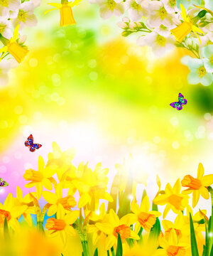 jasmine. Spring flowers of daffodils. Bright and colorful flowers
