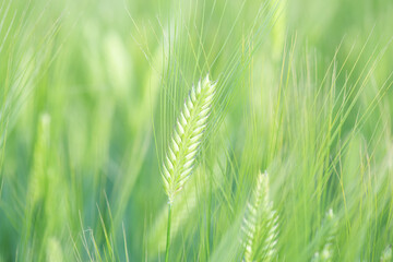 Fototapeta young green wheat ears close-up in the field