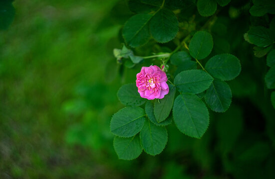 Pink bush rose flower on a green background in the garden