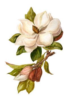 Magnolia on a white background. Watercolor painted flower. Isolated flower on a white background. Magnolia handmade graphics. Botanical plant. Flower illustration.