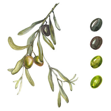 Olive branch on a white background. Isolated olive branch and olives. Olives watercolor set. Handmade Greek plants.
