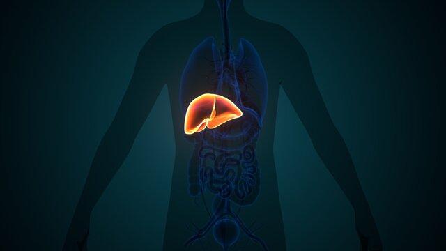 3D Illustration of Human Internal Digestive Organ Liver Anatomy