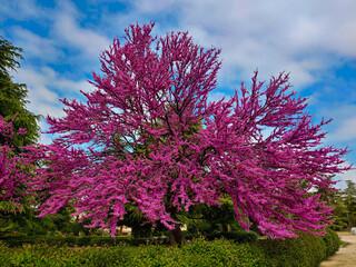 Obraz drzewa kwitnące park rośliny niebo chmury - fototapety do salonu