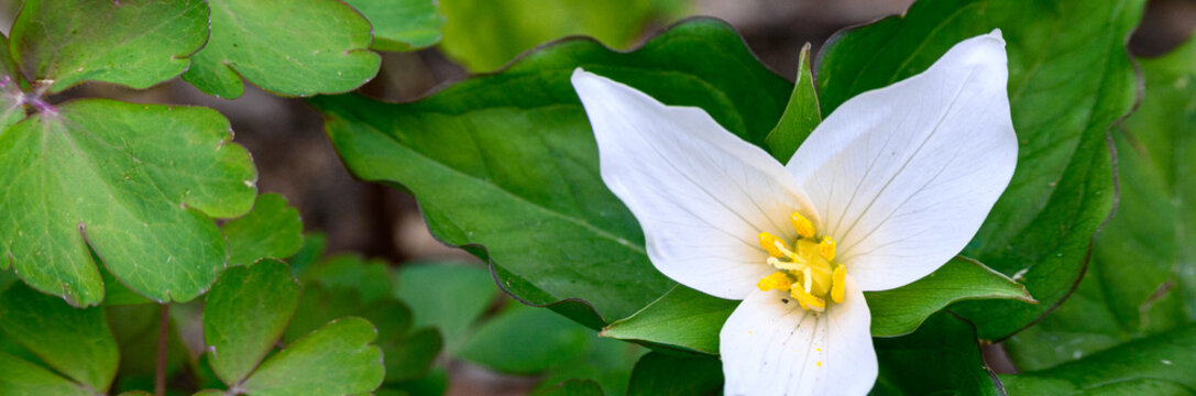 Native white coastal trillium flower blooming in a woodland garden amid green foliage