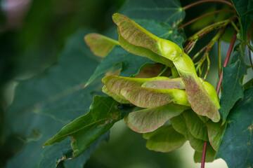 Fototapeta gałązka klonu, zielone liście, nasiona obraz
