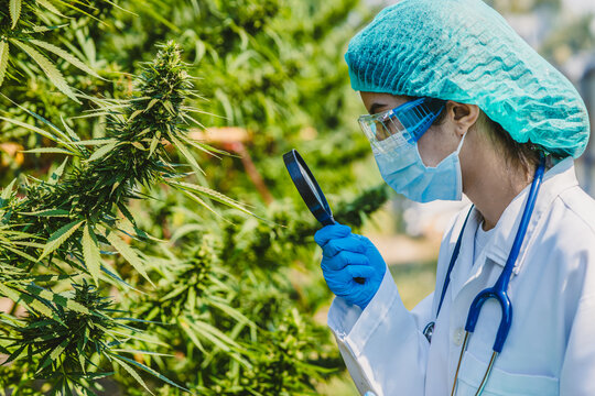Doctor scientist using magnifying glass to study research in Sativa Cannabis plant tree closeup leaf buds for using THC or CBD in medications treatment