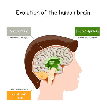 Brain Evolution from reptilian brain, to limbic system and neocortex.