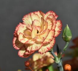 Obraz goździk, kwiat - fototapety do salonu